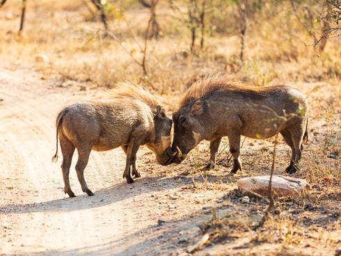 Warthog greetings