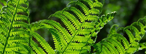 Fern Leaves.jpeg
