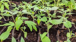 Gardening - Starting with Seeds