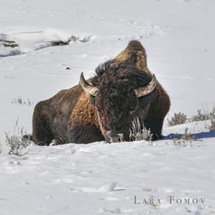 Bison.Snow.Lone02.jpg
