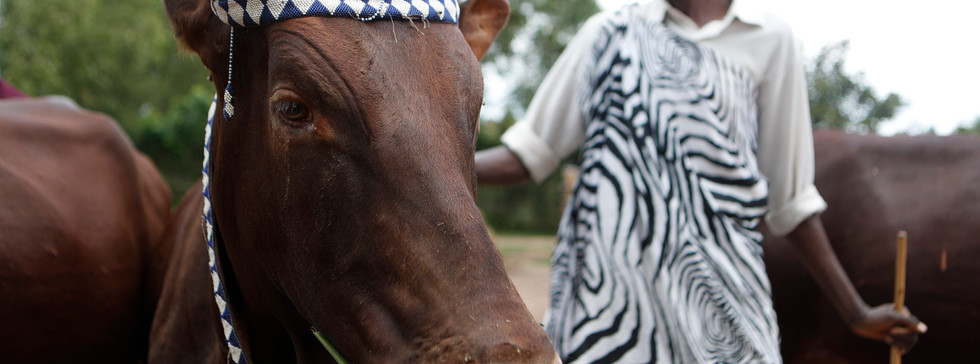 An Inyambo cow is herded by its caretaker in Nyanza, Rwanda