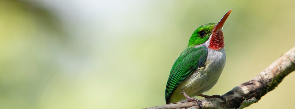 A Puerto Rican tody sits on a branch in the Rio Abajo forest in Arecibo, Puerto Rico.