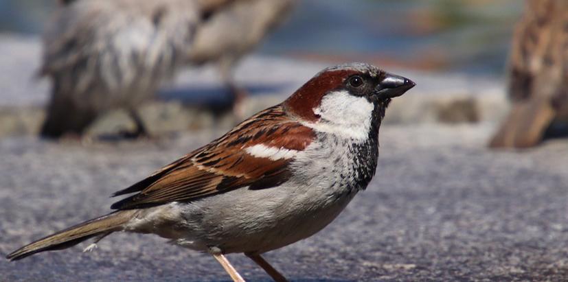 Housing the House Sparrow