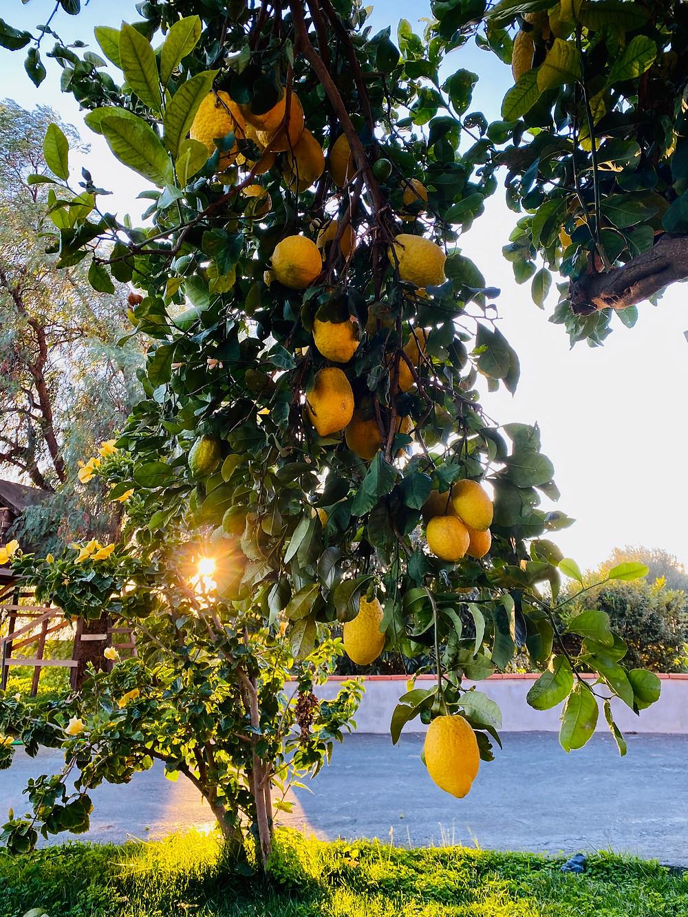 sicily-lemons