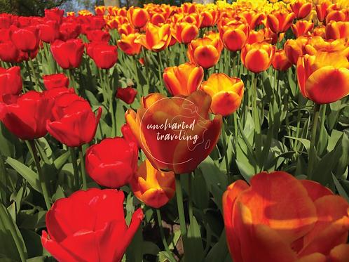 Keukenhof Tulip Fields - Lisse,Holland