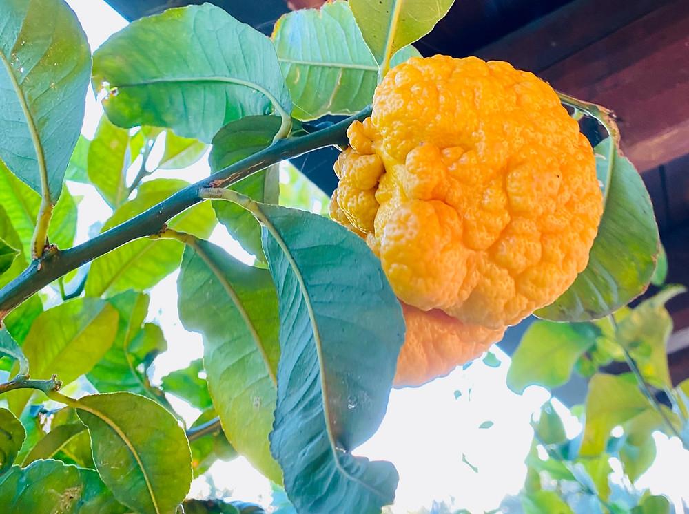 sicily-lemons-ugly