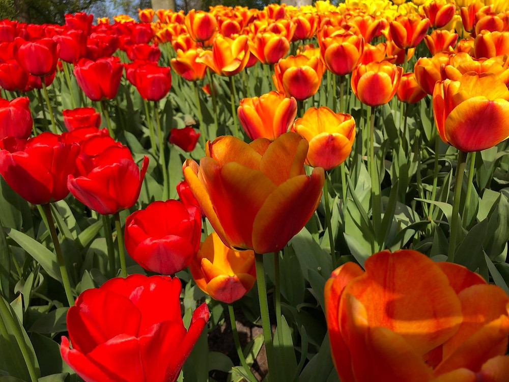 keukenhof-tulips-amsterdam-day-trips