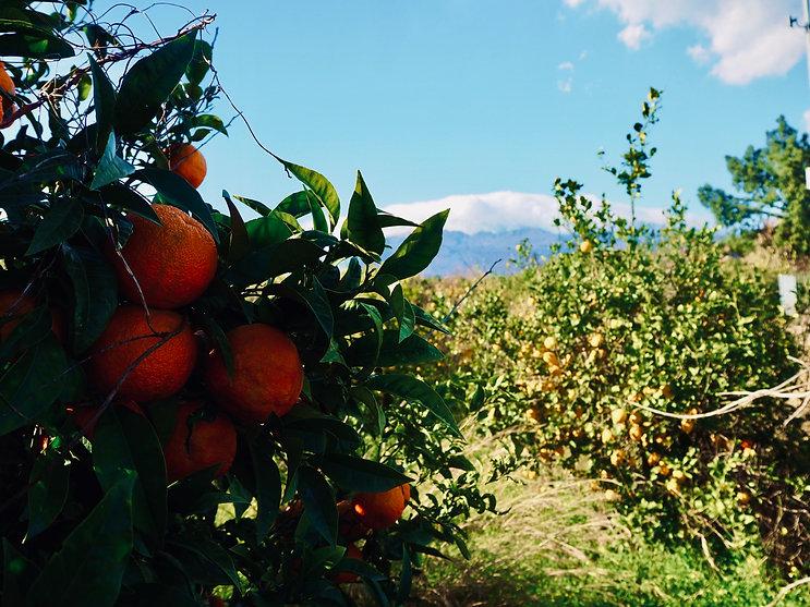 sicily-blood-oranges-2.jpeg