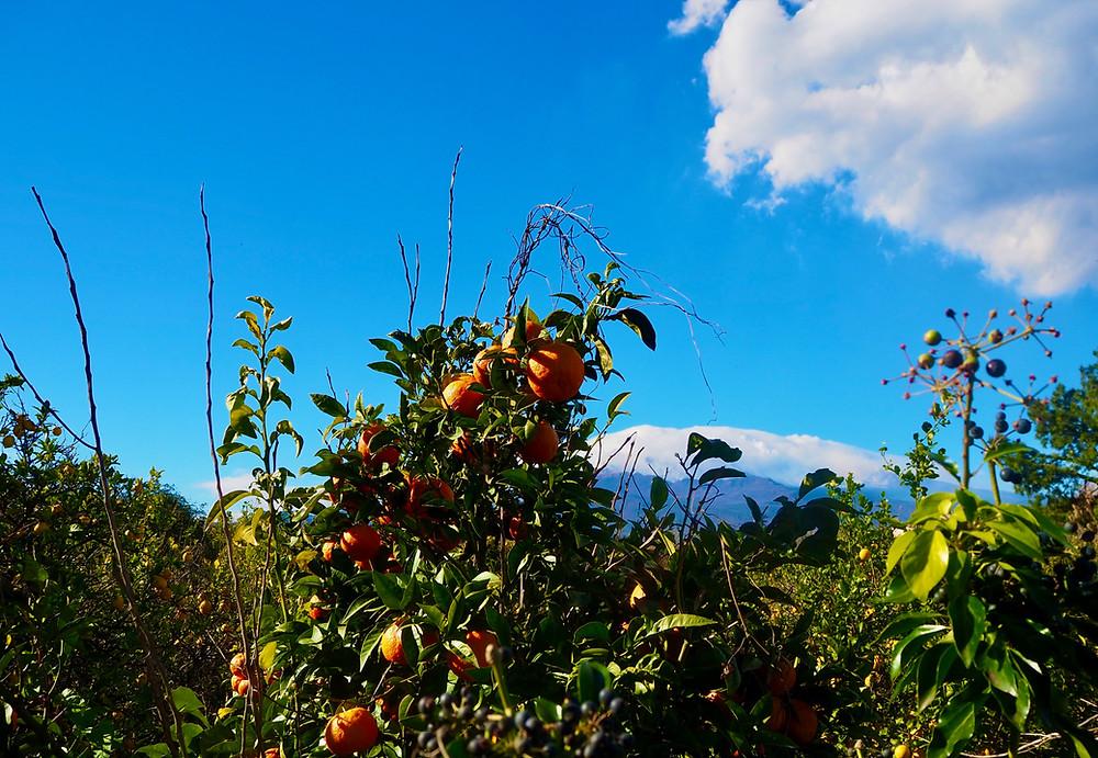 sicily-blood-oranges-mount-etna