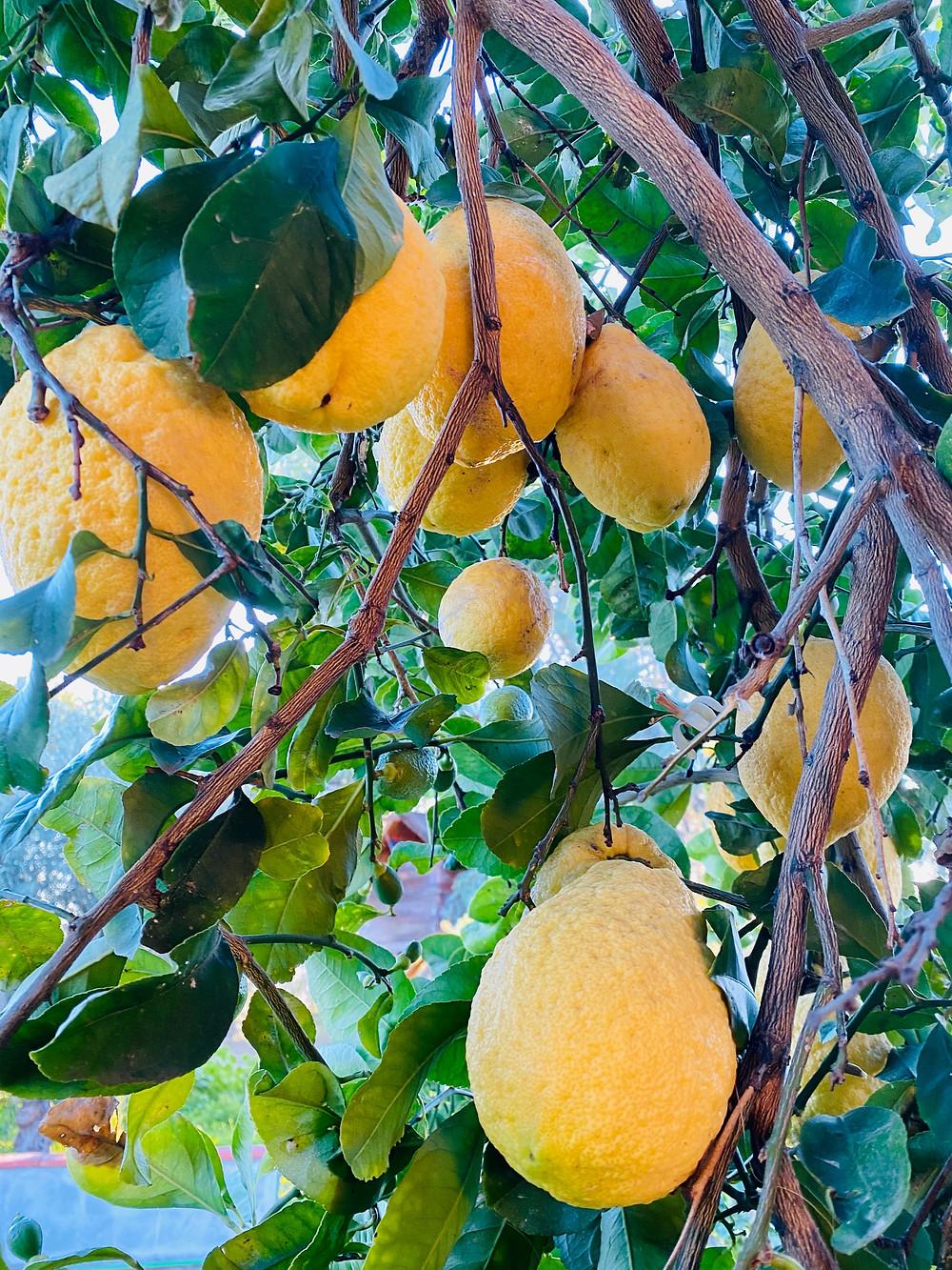 sicily-products-lemons