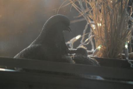 Sister Patti's Pigeons