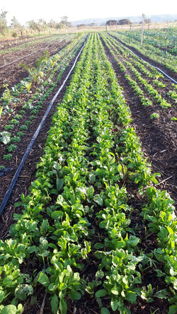 Agro - talhao 3 (17)