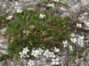 Spring Sandwort minuartia_verna Widdyban