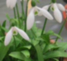 Galanthus ikariae ssp ikariae Hexham AGS