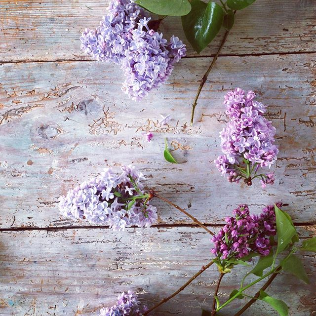 Lilacs. The colour, the dreamy innocent scent, their gracing the garden for such a short moment in t