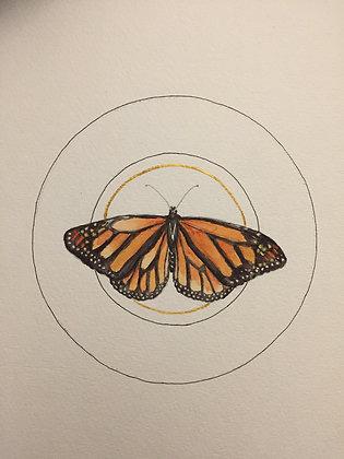 Danaus plexippus (Monarch Butterfy)