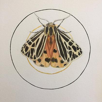 Grammia virgo (Virgin Tiger Moth)
