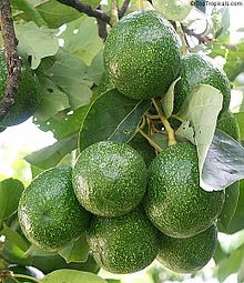 Avocado_cv_Choquette.jpg