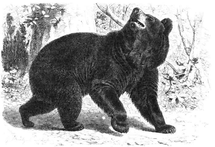 """Bear - 22-25"""""""