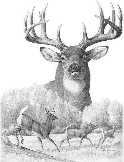 Whitetail Deer, Mule Deer (No Lower Jaw)