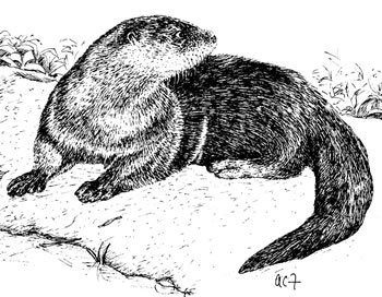 Medium Size Animals – Otter, Opossum, Raccoon, Fox