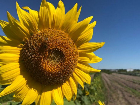 Have you ever grown sunflowers?