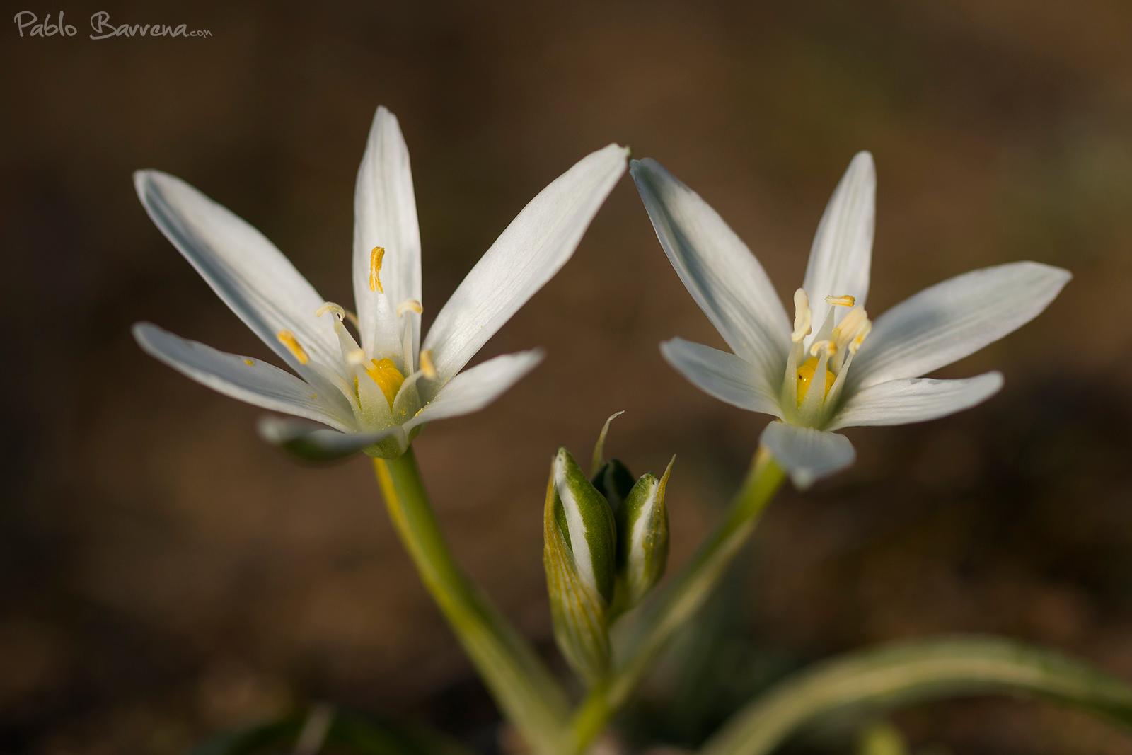 Ornithogallum orthophyllum