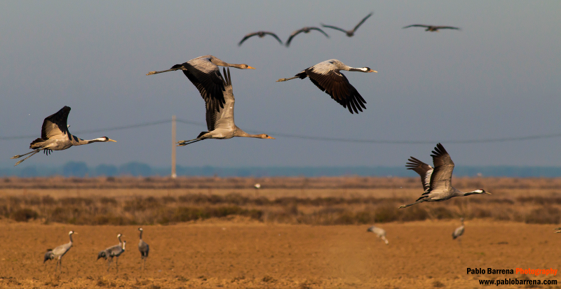 Cranes in Doñana