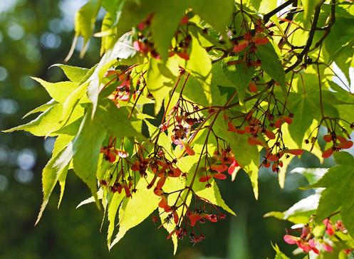 Acer Palmatum Osakazuki Japanese Maple 5 Seeds 219