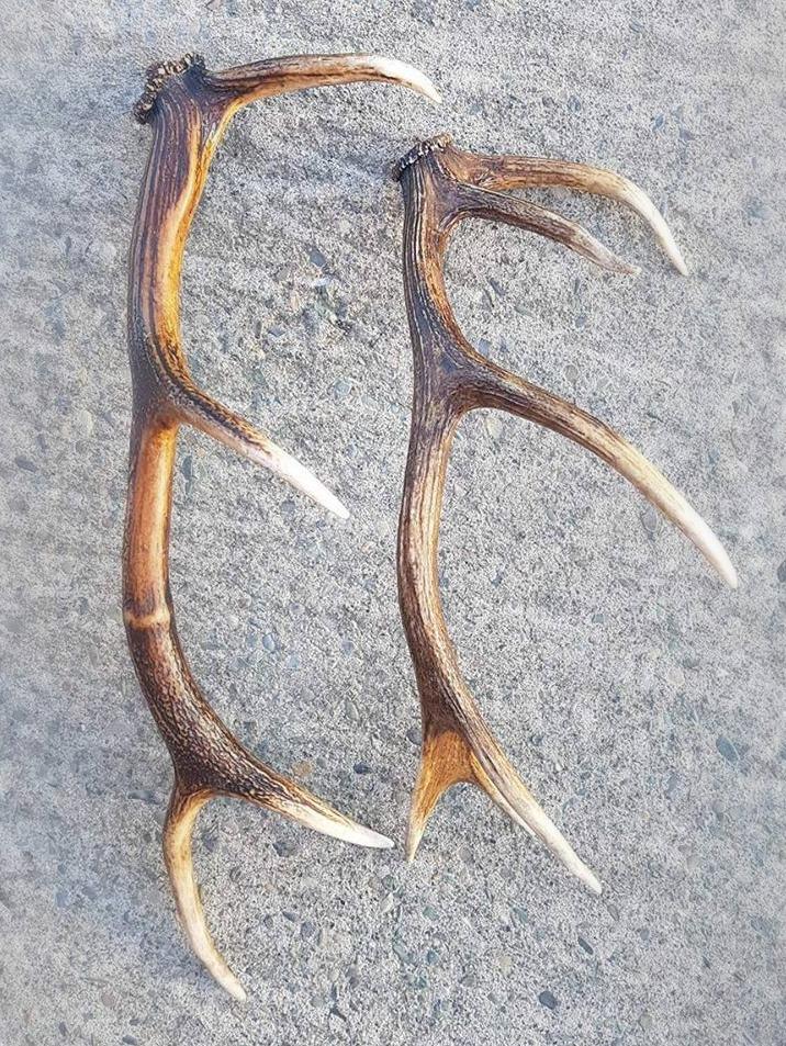 Single Deer Antlers