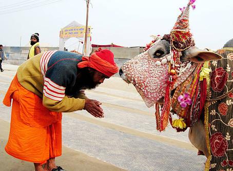 Posvátné krávy v Indii