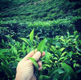 Borneo Sabah Tea