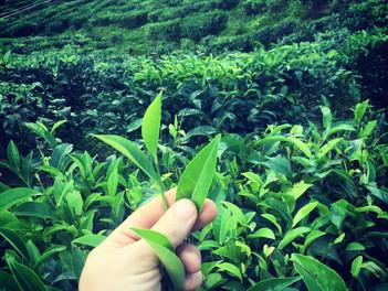 Čajové plantáže na Borneu