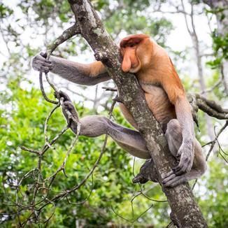 Borneo - kahua nosatý
