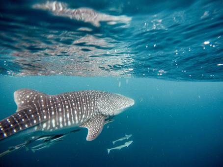 Potápění se žraloky - Filipíny