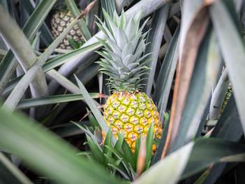 Chuť pravého ananasu