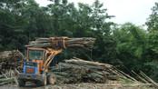 Chop Down Bamboo Poles