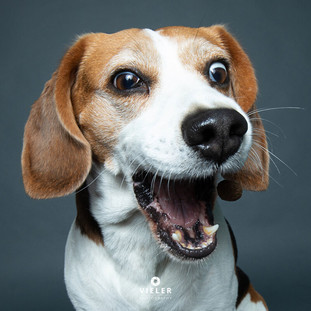 Paule-the-Beagle-38.jpg
