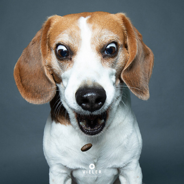 Paule-the-Beagle-04.jpg