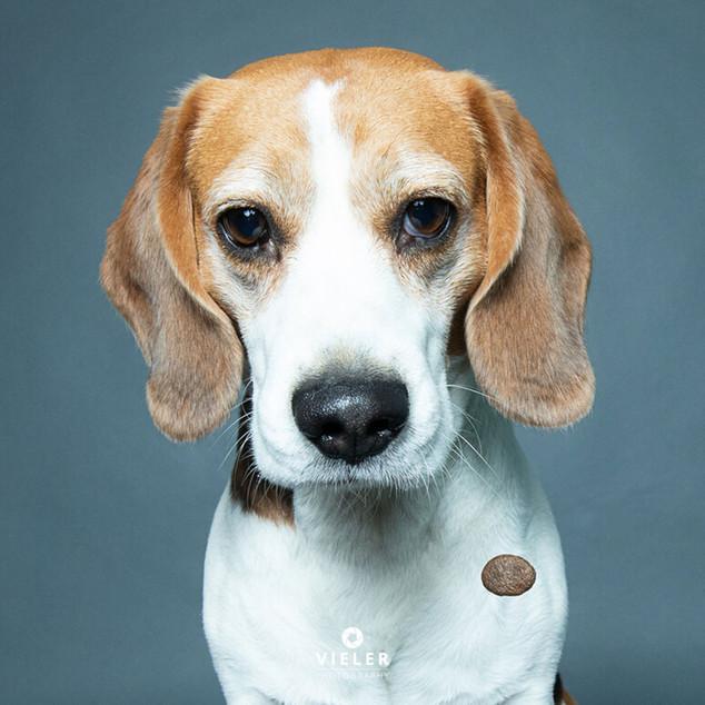 Paule-the-Beagle-01.jpg