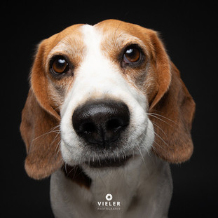 Paule-the-Beagle-62.jpg
