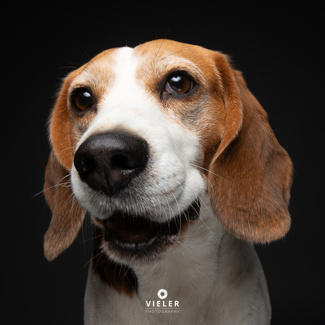 Paule-the-Beagle-61.jpg