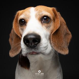 Paule-the-Beagle-52.jpg