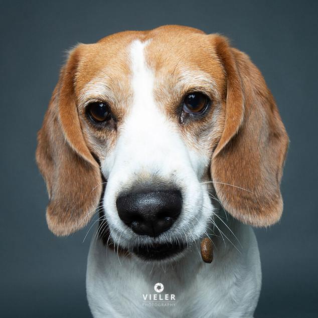 Paule-the-Beagle-43.jpg