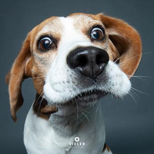 Paule-the-Beagle-31.jpg