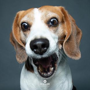 Paule-the-Beagle-37.jpg