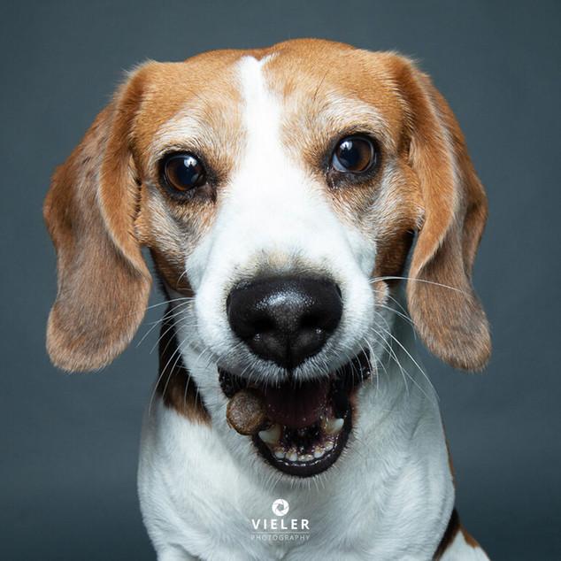 Paule-the-Beagle-39.jpg