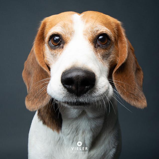 Paule-the-Beagle-48.jpg