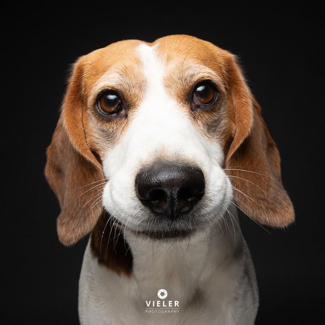 Paule-the-Beagle-55.jpg
