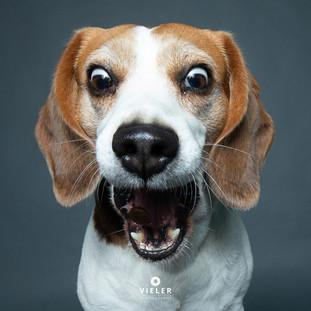 Paule-the-Beagle-28.jpg